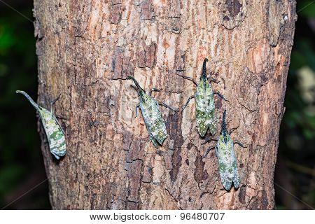 Pyrops Spinolae Lantern Bug