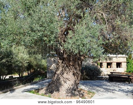 Millenary Olive Tree In Cyprus