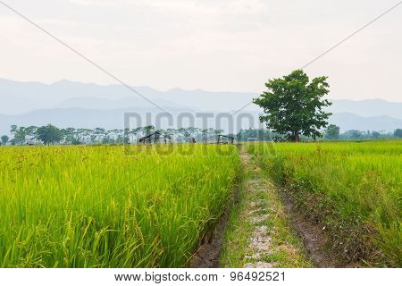 Traces Of The Wheel In The Rice Field With Big Tree In The Background.