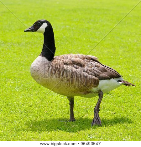 Gray Goose On Green Field