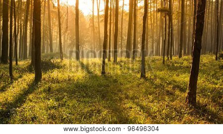 Sun Ray Thought Pines Forest