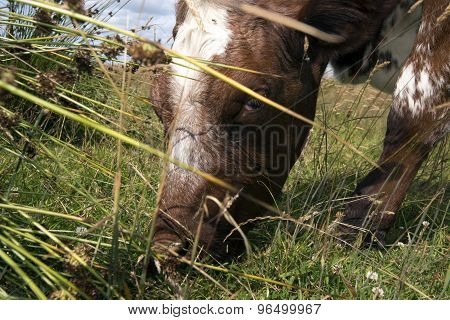 Closeup Eating Cow