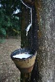 image of afforestation  - tapping latex from a rubber tree in malaysia - JPG