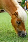 picture of horses eating  - horse eat green grass in pasture photo stock - JPG