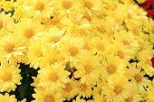 pic of chrysanthemum  - Yellow Chrysanthemum flower in garden tropical country - JPG