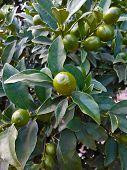 stock photo of kumquat  - Exotic kumquat grows on the tree in the greenhouse - JPG