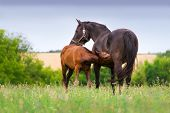 picture of pastures  - Little foal drink milk from mare in pasture - JPG