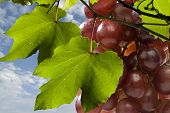 picture of grape  - Filled on a grape fresh sweet grapes - JPG