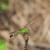 pic of stick-bugs  - Green bodied dragonfly at the top of a stick near the ground - JPG