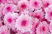 picture of chrysanthemum  - closeup of Chrysanthemum banch in flower market - JPG