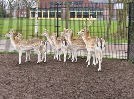 image of bucks  - A roe deer herd with a roe - JPG