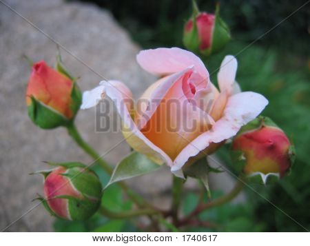 Rose With Buds