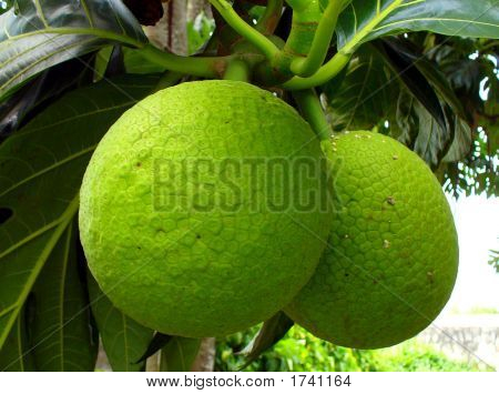 Breadfruit.