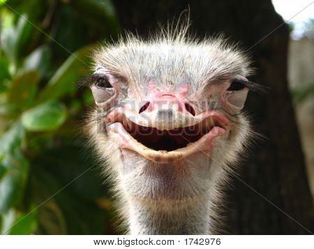 Avestruz sonriente