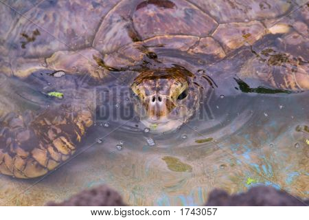 Sea Turttle