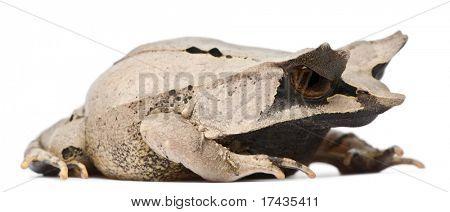 Long-nosed Horned Frog, Megophrys nasuta, 18 months old, in front of white background