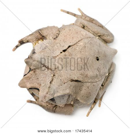 High angle view of Long-nosed Horned Frog, Megophrys nasuta, 18 months old, in front of white background