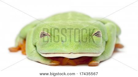 Red-eyed Treefrog, Agalychnis callidryas, with eyes closed in front of white background