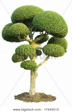 Isolated Fig Tree Ornamental garden