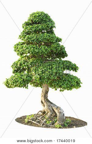 Isolated Fig Tree bonsai