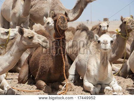 Dromedario camellos en un mercado