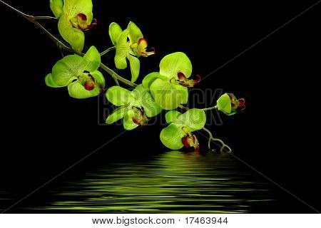 Striking Green Orchid On Black With Water Effect
