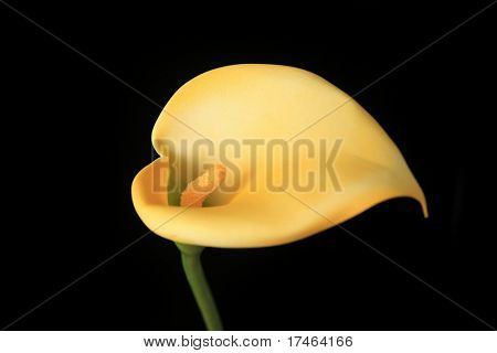 Single Side View of Yellow Lilly Flower: Insert a Baby or Child For Fantasy Portraiture