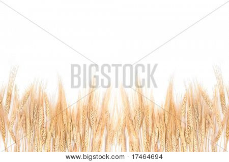 Whispy Wheat Grass Bordering on a White Background