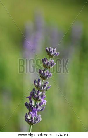 Lavender Solo