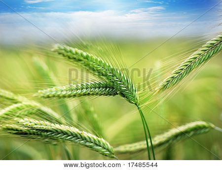Green spring grains
