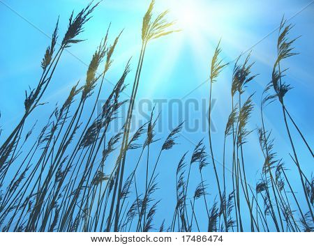 Reed and blue sky