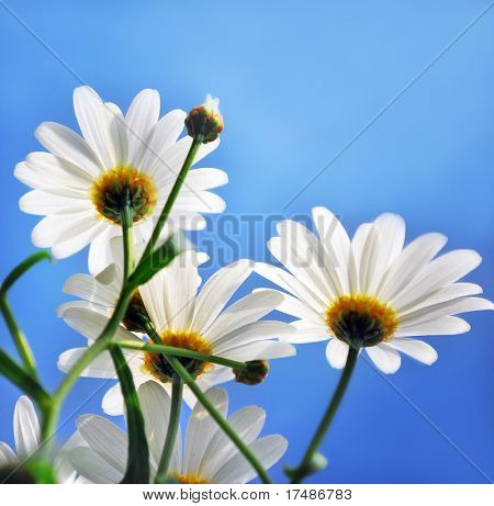 Beautiful marguerit