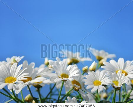 Field of marguerite