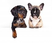 Постер, плакат: Dog dachshund with blank billboard Dog above banner or sign Dachshund dog portrait over white back