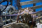 picture of panulirus  - Caribbean Spiny Lobster also knowen as the Florida Spiny Lobster  - JPG