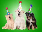 stock photo of funny animals  - Funny Singing Birthday Celebrating Puppy Dogs Wearing Party Hats - JPG