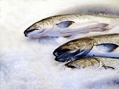 pic of steelhead  - Fresh salmon on ice at the market - JPG