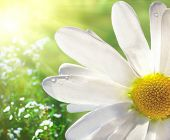 picture of daisy flower  - Wild Daisy - JPG