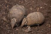 Southern three-banded armadillo (Tolypeutes matacus), also known as the La Plata three-banded armadi poster