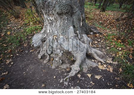 A Huge Old Tree With Bare Roots I