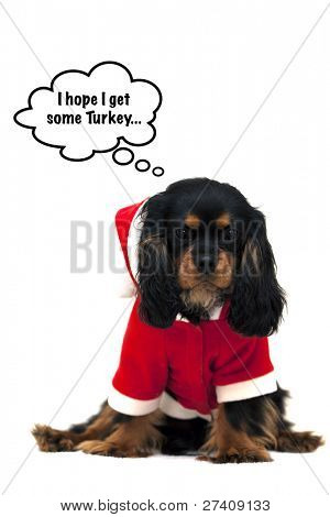 Marmaduke the black and tan Cavalier wears a Santa Suit and hopes to share some Christmas dinner