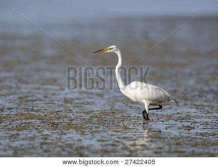Great Egret In Florida Marsh