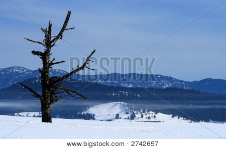 Mortons Baum
