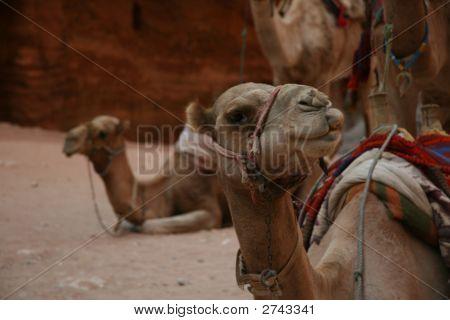 Camel'S Challenging Look