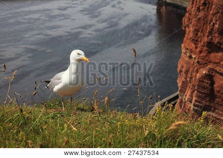 Sea Gull on Helgoland Island.