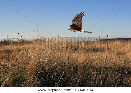 Northern Harrier Hawk na caça