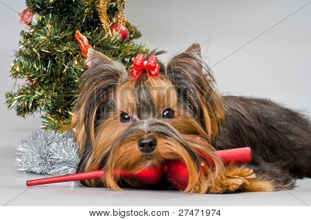 Yorkshire terrier greets the New Year