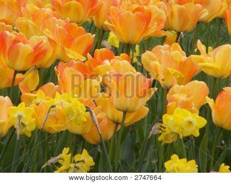 Tulips And Daffodiles.