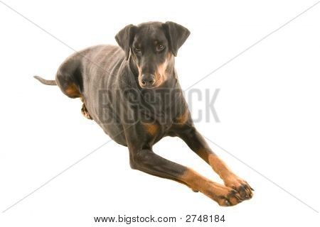 Soleful Dobermann