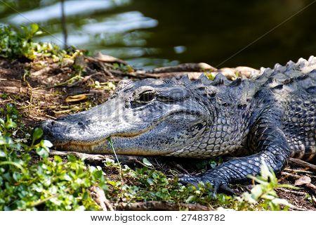 Porträt von einem alligator